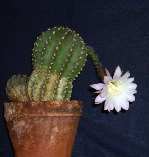 кактусы цветущие фото с названиями