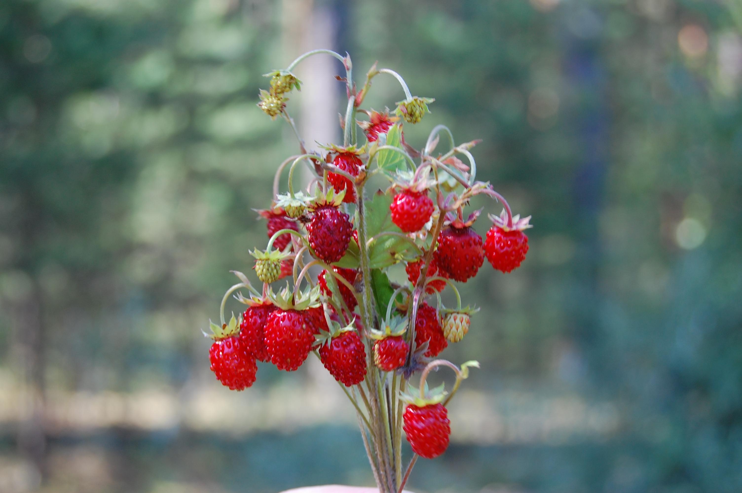 Фото цветов лесных ягод