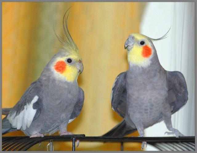 Корелла самые красивые попугаи фото.